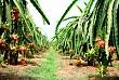 Thăm quan vườn trái cây ở Tiền Giang